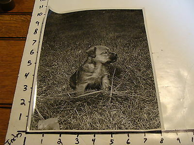 Vintage B & W photo: Adorable SOFT COATED WHEATON TERRIER PUPPY sitting in grass