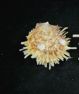 Spiny Oyster Shell Matched pair 2 1/2 Inches