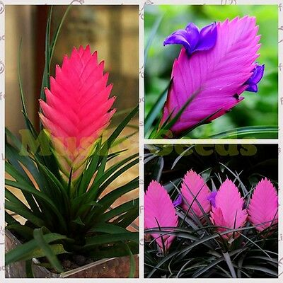 100 seeds- Mixed Color Tillandsia Air Plants-Potted Flower Seed