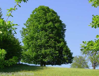 4x Tilia cordata / Small-leaved Lime, majestic native tree grown peat free, 4ft