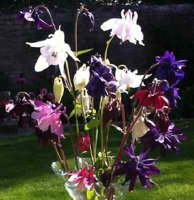 AQUILEGIA - Cottage Mix - 500 seeds approx