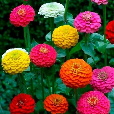 Zinnia- Cut and Come Again- 100 Seeds - 50 % off sale