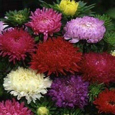 Aster- Paeony Duchess- Mix- 50 seeds         50% off sale