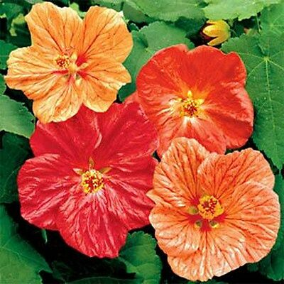 Abutilon-Flowering Maple-  Bellvue Mix- 50 Seeds - 50 % off sale