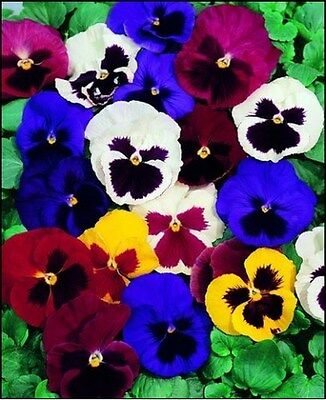 Pansy- Swiss giant Mix - 50 Seeds - 50 % off sale