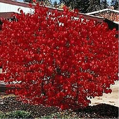 Burning Bush- 50 Seeds - 50 % off sale