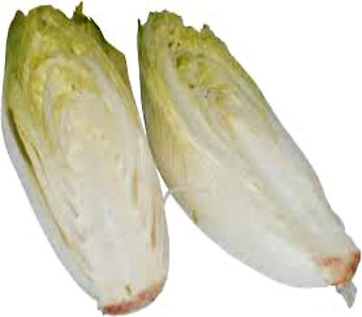 Chicory Witloof, Belgian Chicory 200 seeds Heirloom gourmet Vegetable