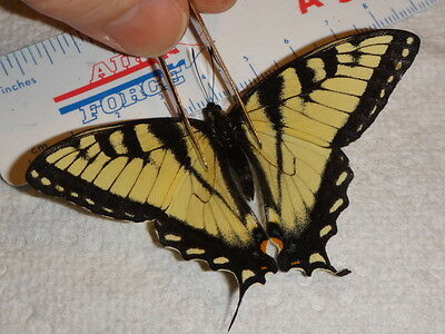 Lepidoptera DWARF Papilio glaucus Tiger Swallowtail Butterfly Indiana #8074-5