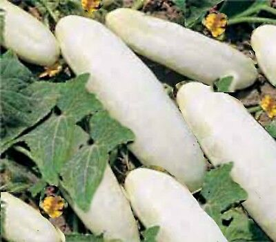 CUCUMBER SEEDS long white 30 seeds heavy cropper great for salads or pickle