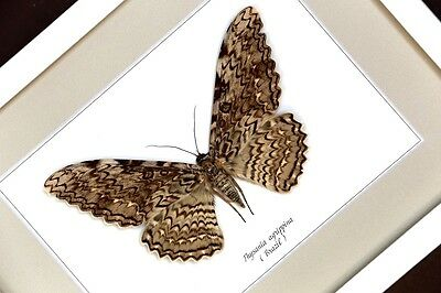 Thysania agrippina real framed butterfly/moth  taxidermy insect