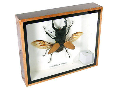 Odontolabis elegans Real Butterfly Insect Taxidermy Display Framed Box FS gpasy