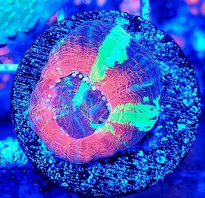 Stunning Very Bright Ultra Small Scolly - LPS Coral On Disk WYSIWYG