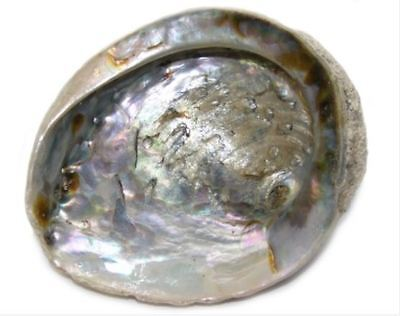 "Abalone Shell for Sage Smudging or Display 4"" - 4.5"""