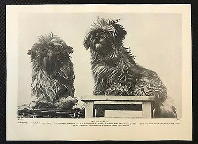 """1934 Dog Print / Bookplate - LHASA APSOS, """"Two of a Kind"""""""