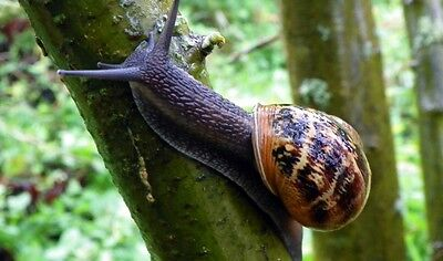 1 LIVE SNAIL, Helix Aspersa Muller, Greek, Perfect Pet, Free at Nature