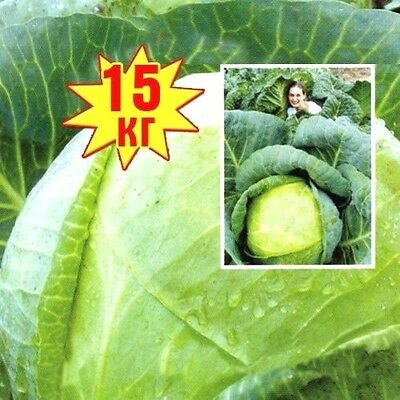 GIANT  CABBAGE SEEDS - XXL SIZE  UPTO 15 KG 50 fresh seeds