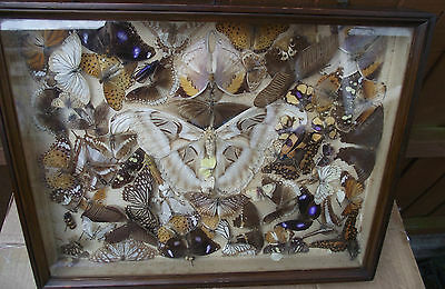 Vintage Victorian Edwardian Display Cased Butterflies Moths Insects Taxidermy