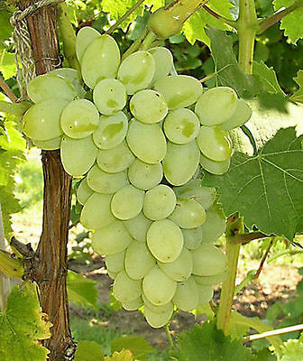 Superior Seedless (Sugraone) Grapes 4 Fresh Cuttings