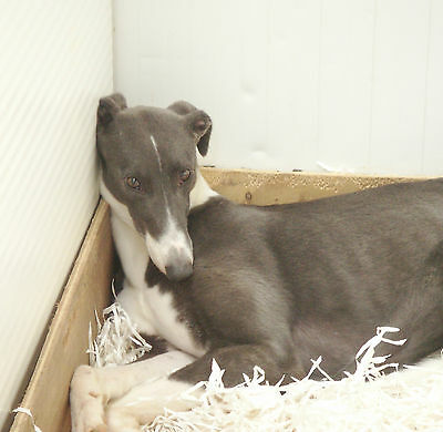 Please Sponsor Bluebell -Tia Greyhound Rescue Charity Dog!