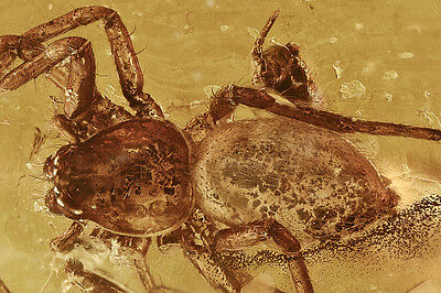 Nice SPIDER Araneae & Springtail Inclusion BALTIC AMBER + HQ Picture