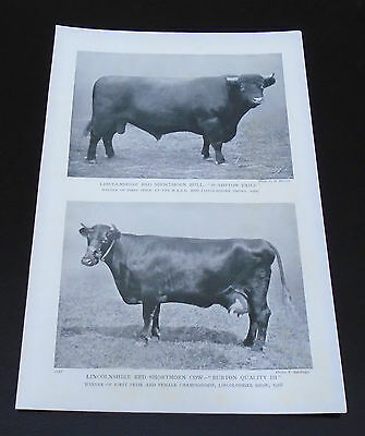 Old print Farming Lincolnshire Red Shorthorn Bull & Cow