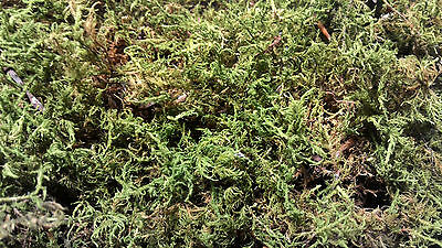 FERN MOSS (Thuidium / Hypnum): Dry Floral Moss-by-the-Square - 1 SQUARE FOOT