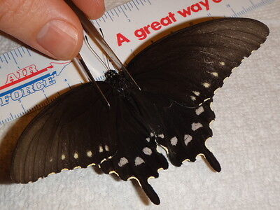 Lepidoptera Battus philenor Pipevine Swallowtail Butterfly Indiana #8595-7