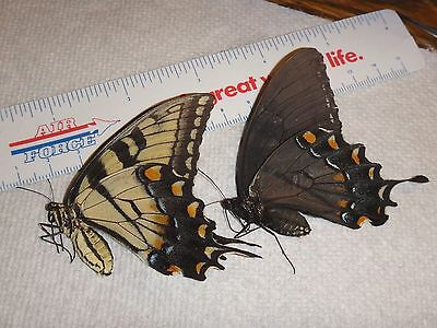 2 Female Papilio glaucus Set Tiger Swallowtail Artwork Wings Butterflies #8665-7