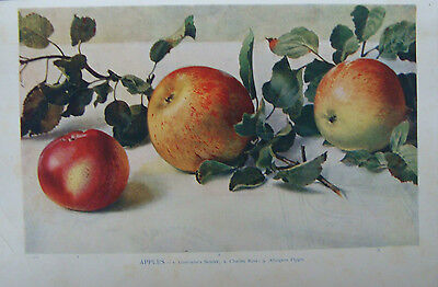 Old Print Types of Apples 1912