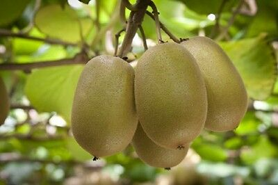 Delicious KIWI ''Chinese Gooseberry''- 200 Seeds*Hardy Variety For UK Weather*