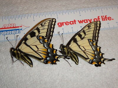 2 Papilio glaucus Spring Form Males Tiger Swallowtail Butterfly #8878-80