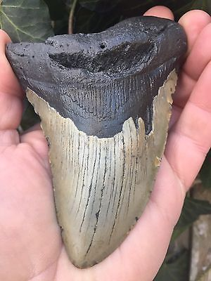 """MEGALODON 4 3/4"""" Giant Shark Tooth Fossil  CURVED *100% NATURAL* Meg Teeth"""