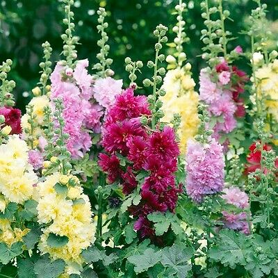 Hollyhock Summer Carnival Double Mix Seed Multicoloured Flowers Drought Tolerant