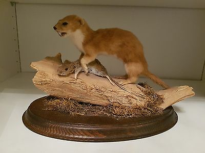 *~ Used Real Ferrets & Mouse Taxidermy Display X1 ~*
