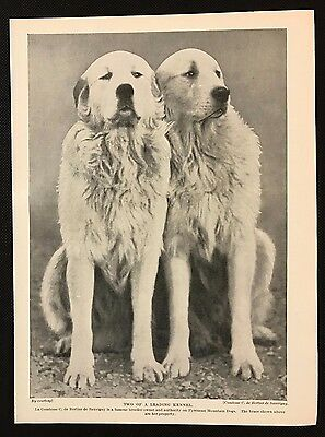 1934 Dog Print / Bookplate - PYRENEAN MOUNTAIN DOGS, Two of a Leading Kennel
