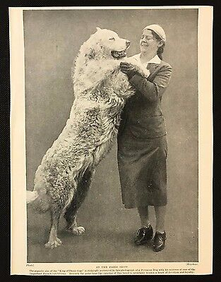 1934 Dog Print / Bookplate - PYRENEAN MOUNTAIN DOG, With owner at French show