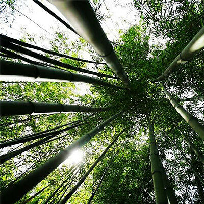 100 Pcs Seeds Phyllostachys Pubescens Moso-Bamboo Seeds Garden Plants