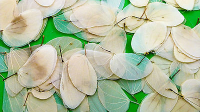 Natural Cercis Leaves - Choose Pack Size - for use in Natural Arts and Crafts