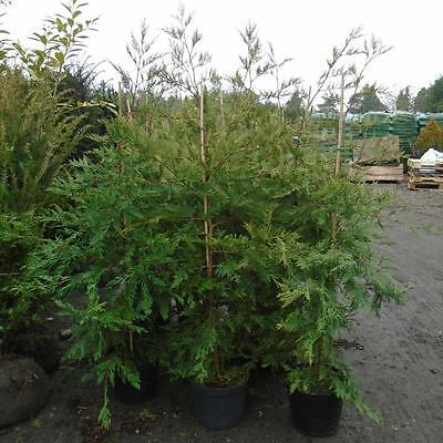 1 x 6ft Green Leylandii hedging plant. Evergreen potted hedging, screening trees