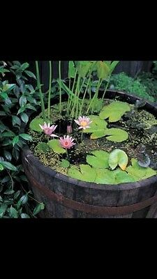 water lilies plants