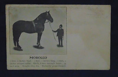 "Early Vintage Postcard - Draft Horse ""morocco"" - Faint Pencil Writing On Card"