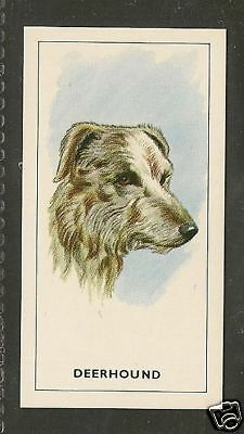 1963 UK Dog Art Head Study George Payne Tea Card SCOTTISH DEERHOUND