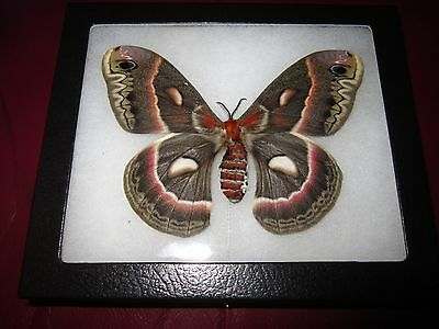 "saturniidae hyalophora cecropia moth mounted  framed 5 x 7"" display   ##f2"