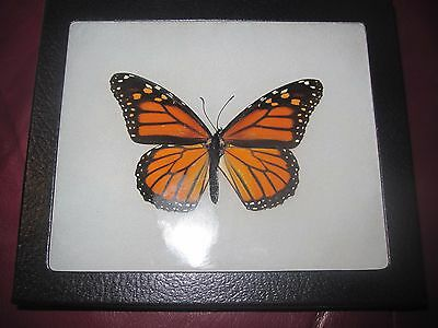 "real female monarch butterfly from canada mounted  framed 5 x 7"" riker  #f14"