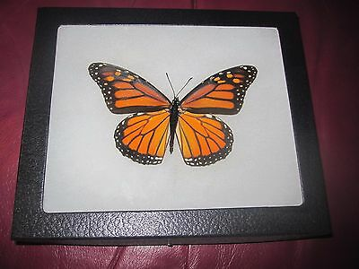 "real female monarch butterfly from canada mounted  framed 5 x 7"" riker  #f10"