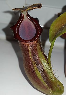 Nepenthes Naga seed grown tropical carnivorous pitcher plant