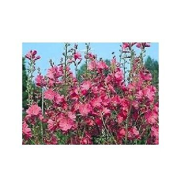 Sidalcea 'Party Girl' / Hardy perennial * 30 Seeds *
