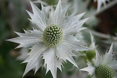 Eryngium 'Miss Wilmott's Ghost' / Giant Sea Holly / Hardy Biennial / 30 Seeds