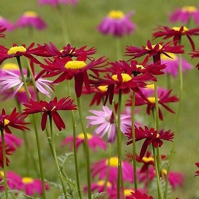 Tanacetum or Pyrethrum 'Robinson's Red' / Hardy Perennial / 100 Seeds