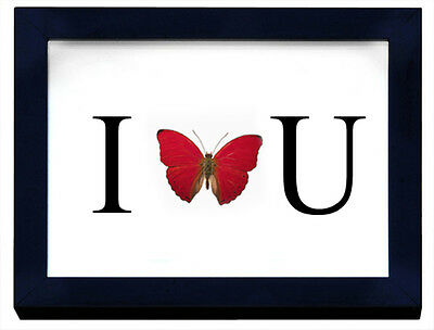 I Love U Butterfly in a Frame with Real Butterfly